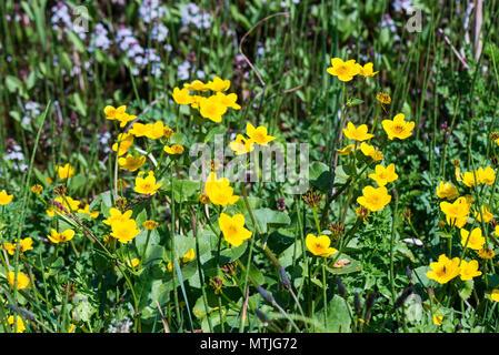 Les fleurs jaunes des marais-marigolds (Maltha palustris)