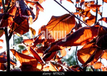 Close up de feuilles de couleur cuivre et des branches d'une haie, plage de cuivre retour lumière du soleil d'été léger pommelé formant sur les feuilles, les couleurs Banque D'Images