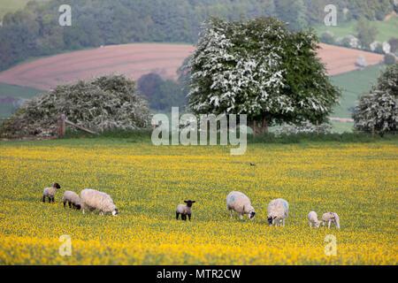 Agneaux et moutons paissant dans le champ Buttercup, Broadway, Cotswolds AONB, Worcestershire, Angleterre, Royaume-Uni, Europe Banque D'Images