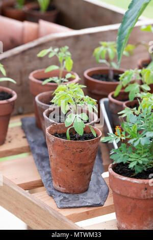 Rempotage de jeunes plants dans une serre au printemps. UK Banque D'Images