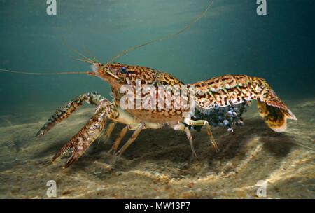 Les écrevisses marbrées, Procambarus fallax. Femme avec des oeufs. De nombreuses personnes ont atteint les environnements sauvages grâce à une négligence humaine Banque D'Images