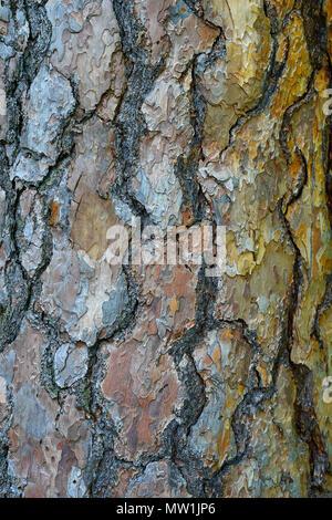 Tronc d'un pin sylvestre (Pinus sylvestris), l'écorce, Allemagne Banque D'Images