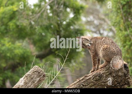 Le lynx ibérique photographié à l'ZooSpain de Madrid, l'Europe.