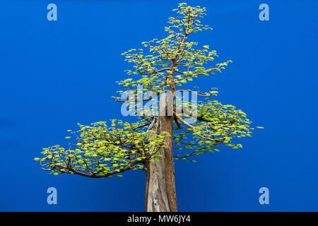 Metasequoia glyptostroboides. Dawn redwood bonsaï arbre sur un fond bleu sur l'affichage à un flower show. UK Banque D'Images