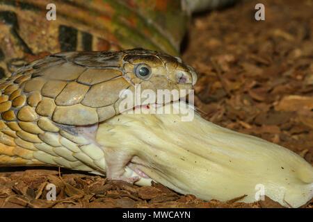 Cobra royal (Ophiophagus hannah) , avaler en captivité un rat blanc., Reptilia reptile zoo, Vaughan, Ontario, Canada