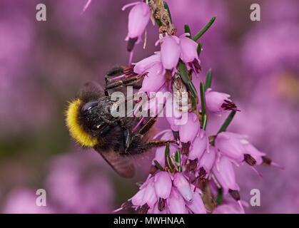 Au début, les bourdons Bombus pratorum, gyne sur winter-flowering Heather Banque D'Images