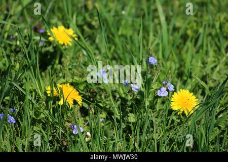 Le pissenlit et la véronique germandrée (Veronica chamaedrys) dans la prairie au printemps