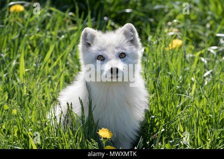 Le renard arctique (Vulpes lagopus) dans l'herbe au Canada Banque D'Images