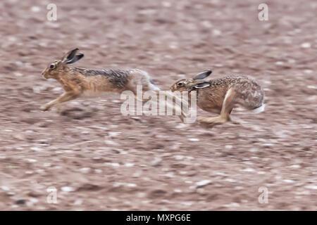 L'exécution de lièvres bruns sur un champ de terre à Norfolk pendant la saison des amours. Les animaux sauvages capturés à la vitesse pendant une poursuite Banque D'Images