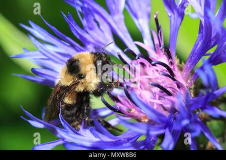 Une abeille, Apis mellifera, est sur un bleuet, centaurea montana montana, au parc Manito à Spokane, Washington. Banque D'Images