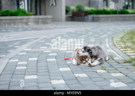 Deux chiots Husky. Les chiens litière dormir dans la rue Banque D'Images