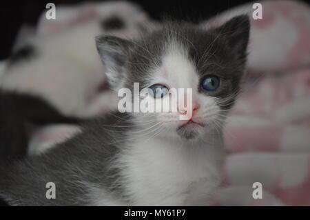 3 gris et blanc chaton de la semaine Banque D'Images