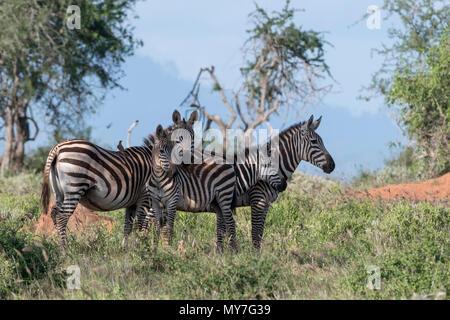 Les zèbres des plaines (Equus quagga), Tsavo, Côte, Kenya Banque D'Images