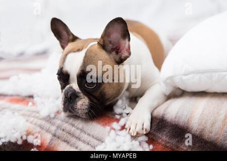 Accueil animal destructeur se trouve sur le lit avec un oreiller déchiré. Pet Care résumé photo. Petit chien coupable avec drôle de visage. Banque D'Images