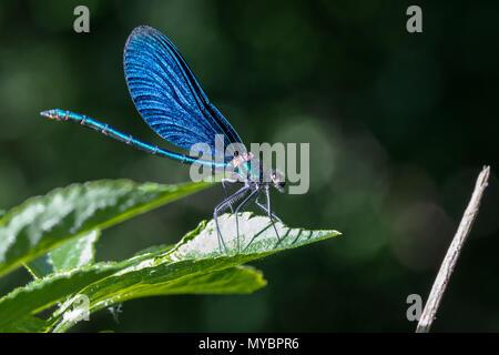 Belle demoiselle (Calopteryx virgo) - Mâle Banque D'Images