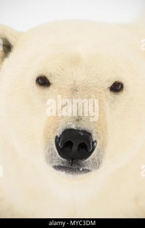L'ours polaire (Ursus maritimus), Parc National de Wapusk, Cape Churchill, Manitoba, Canada Banque D'Images