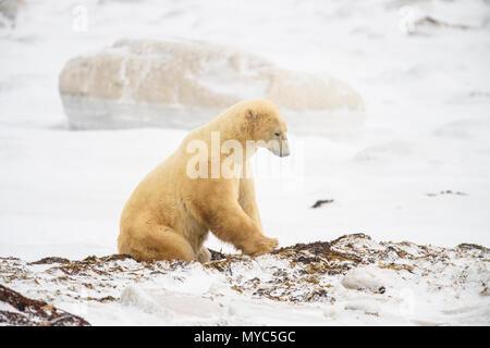 L'ours polaire (Ursus maritimus) l'excavation d'un lit d'algue marine, le parc national Wapusk, Cape Churchill, Manitoba, Canada