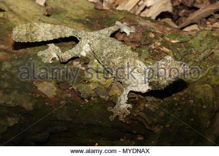Un gecko à queue de feuille moussus (Uroplatus sikorae) sur un journal en décomposition. Banque D'Images