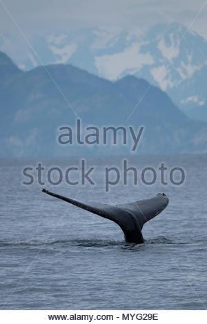 Une baleine à bosse près de fluke Aialik Glacier dans Kenai Fjords National Park. Banque D'Images