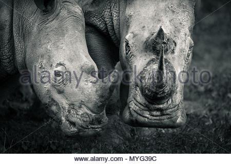 Une mère et son petit dans le sud de l'white rhino Rhino Sanctuary Solio. Banque D'Images
