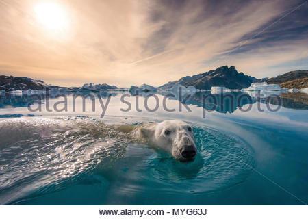 Un ours blanc nage à la surface de l'eau. Banque D'Images