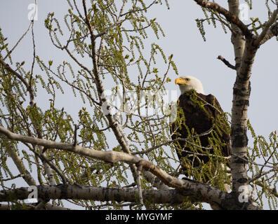 Un adulte pygargue perchée sur un arbre Cottonwood au printemps. L'aigle est photographié face caméra avec sa tête vers la gauche en profil. Banque D'Images