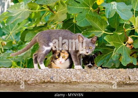 Deux mignons chatons chat de Nosy Be, de couleurs différentes, l'un permanent au-dessus de l'autre sur un mur en face d'un figuier, île grecque Lesbos, Grèce
