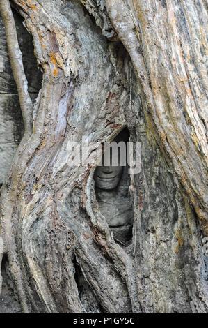 La nature et l'homme. Un visage souriant, englouti par d'énormes strangler fig tree roots, est tout ce qui reste de cette statue de pierre dans Ta Prohm, Angkor