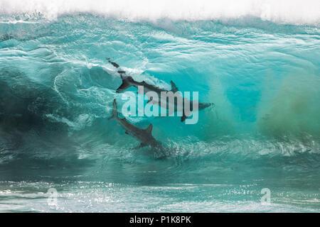 Les requins se nourrissent d'une boule d'appât dans le bris des vagues océaniques, Carnarvon, Western Australia, Australia Banque D'Images
