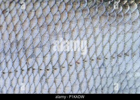 Les écailles de poisson daurade motif peau texture macro-vision. Selective focus, champ faible profondeur Banque D'Images