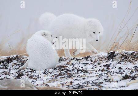 Le renard arctique (Vulpes lagopus) de jouer dans la neige sur les rives de la Baie d'Hudson; Churchill, Manitoba, Canada Banque D'Images