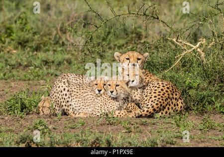 Famille de guépards (Acinonyx jubatus) allongé sur le sol; la Tanzanie, Ndutu Banque D'Images