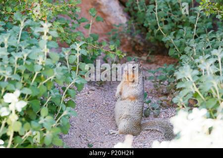 USA. L'Utah. Région de Cedar City. Parowan Gap & pétroglyphes imprime dinosaure. L'écureuil.