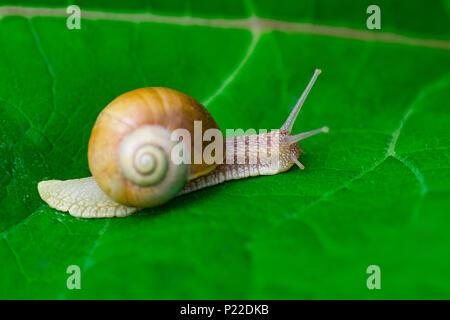 Dans le jardin d'escargot sur feuille verte. Banque D'Images