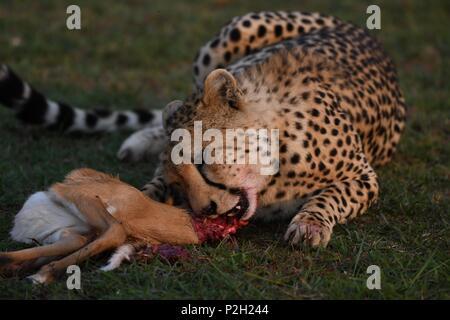 Les guépard assis sur le vert de la savane du Masai Mara mange ses proies. Photo prise tôt le matin, Motorogi Olare Conservancy. Acinonyx jubatus Banque D'Images