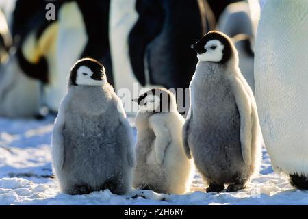 Poussins de manchots empereurs, Aptenodytes forsteri, mer de Weddell, l'Antarctique Banque D'Images