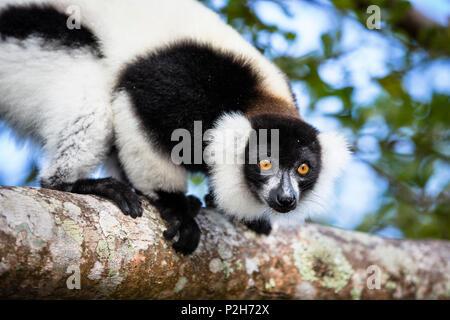 Noir et blanc la gélinotte Lemur, le Varecia variegata, Madagascar, Afrique de l'Est Banque D'Images