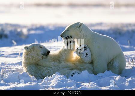 L'Ours blanc Ursus maritimus, jeu, Churchill, Manitoba, Canada Banque D'Images