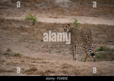 Guépards sauvages photographiés sur Safari en Afrique du Sud Banque D'Images