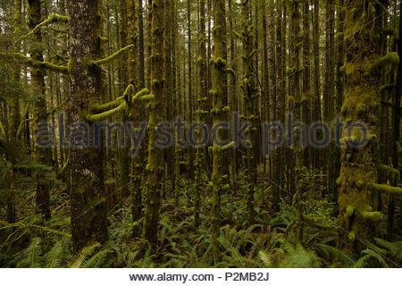 Vert, d'arbres couverts de mousse dans les bois Banque D'Images