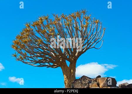 Quiver Tree dans désert du Kalahari, Région Karas, Namibie Banque D'Images