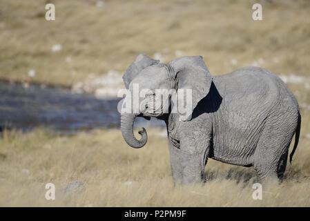 Un joli bébé éléphant représente dans l'herbe sur la savane, par un point d'eau dans le parc national d'Etosha. Il a bouclé le tronc et les oreilles. Banque D'Images
