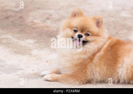 Orange chien pomeranian sourire et assis à l'extérieur. Banque D'Images