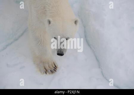 La Norvège, Svalbard. Close up of polar bear visage et pattes, dans la glace de mer au-dessus de 81°N Banque D'Images