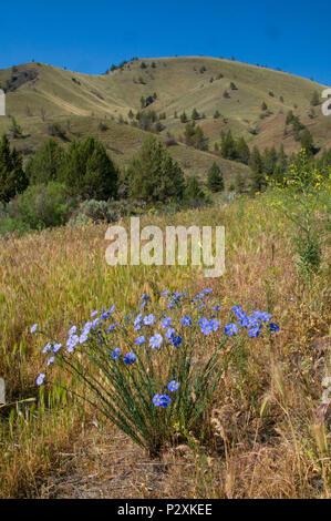 Fleurs bleues dans les prairies, Pine Creek Conservation Area, Voyage à travers le temps National Scenic Byway, Oregon Banque D'Images