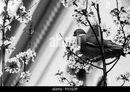 Dans cette photo en noir et blanc, un pigeon se trouve dans un arbre en fleurs à Anvers. Comme dans de nombreuses villes, les pigeons sont souvent vus à Anvers. Banque D'Images