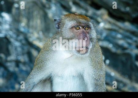 À longue queue adultes ou de crabe-macaque manger à la plage de l'île de James Bond (Khao Phing Kan), province de Krabi, Thaïlande
