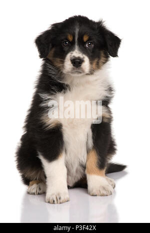 Chiot berger australien, 8 semaines old, in front of white background Banque D'Images