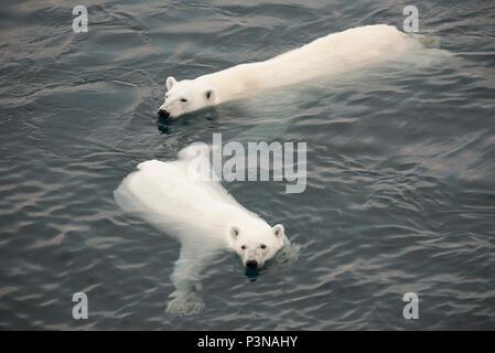 L'ours polaire (Ursus maritimus) d'une mère et de deux ans de l'Arctique, la cub