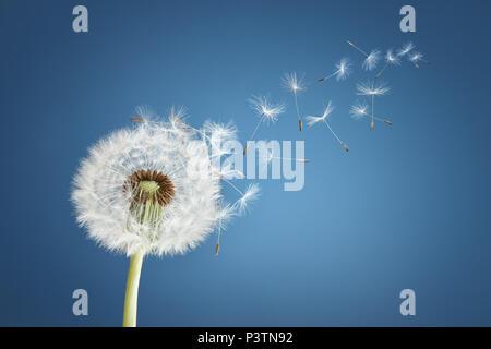 Avec les graines de pissenlit souffle loin dans le vent dans un ciel bleu clair avec copie espace Banque D'Images